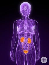 Nieren Körper